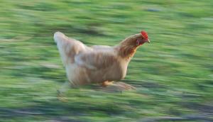 Ayam berlari di lapangan berumput, diabadikan dengan teknik panning dimana kamera bergerak mengikuti gerakan ayam sebagai obyeknya sehingga nampak jelas sebaliknya latar belakangnya hanya nampak bergaris-garis. Teknik serupa yang menginisiasi penemuan Bulan Neptunus ke-14. Sumber : Wikipedia, 2013.