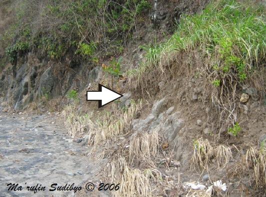 Gambar 8. Breksi lahar di tebing curam sisi barat pantai Pasir (tanda panah). Breksi lahar ini juga menjadi pertanda pernah ada sebuah gunung berapi purba di kawasan ini. Sumber: Sudibyo, 2006.