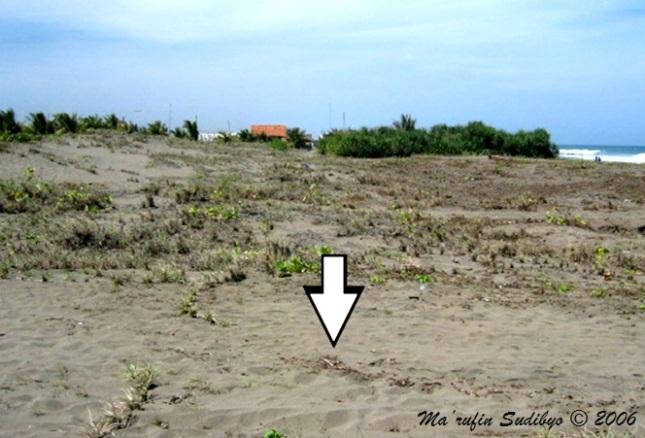 Gambar 5. Pantai Petanahan (Karanggadung), contoh pantai datar di Kabupaten Kebumen. Di sebelah kiri nampak bukit-bukit pasir yang membentuk pematang pantai, sementara di sebelah kanan terlihat perairan Samudera Indonesia. Tanda panah menunjukkan invasi maksimum/genangan terjauh akibat bencana tsunami 2006, yang mencapai 60 meter dari garis pantai. Sumber: Sudibyo, 2006.